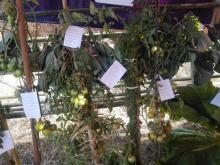 सहभागी कृषिजन्य उपज